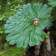 Poor man's umbrella (Gunnera sp) in nevelwoud, Tapanti NP, Costa Rica <BR><BR>Zie ook www.arterra.be</P>